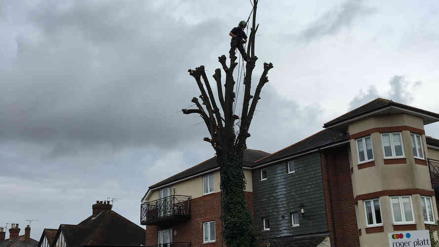 Bennetts Tree Care  lime tree pollarding