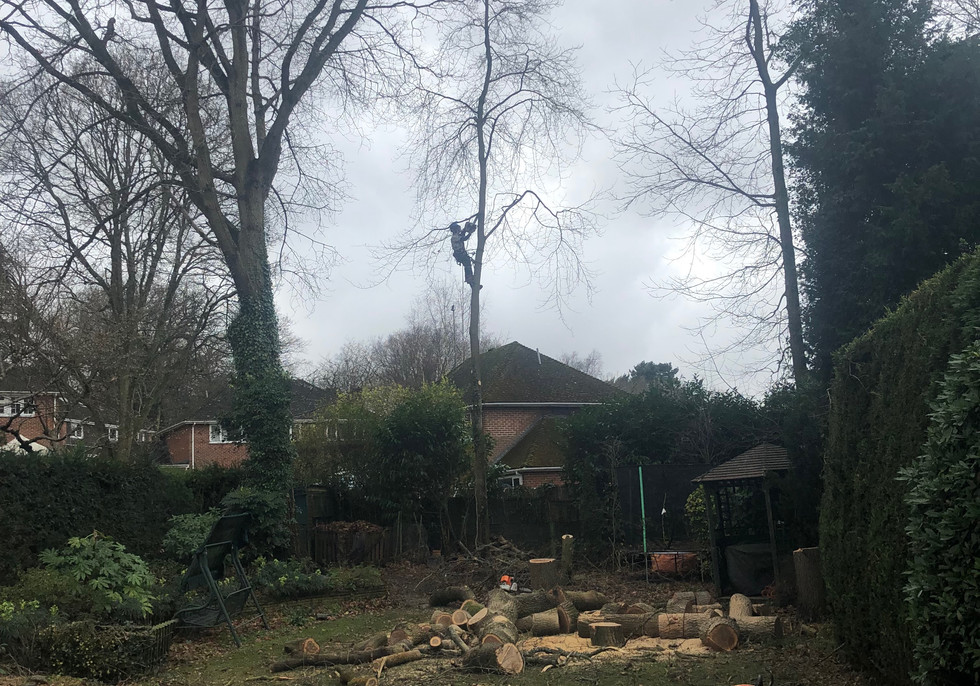 all trees removed to allow more light and then 5 more new ones planted