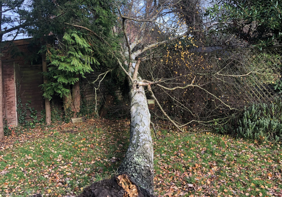 fallen birch tree in wind