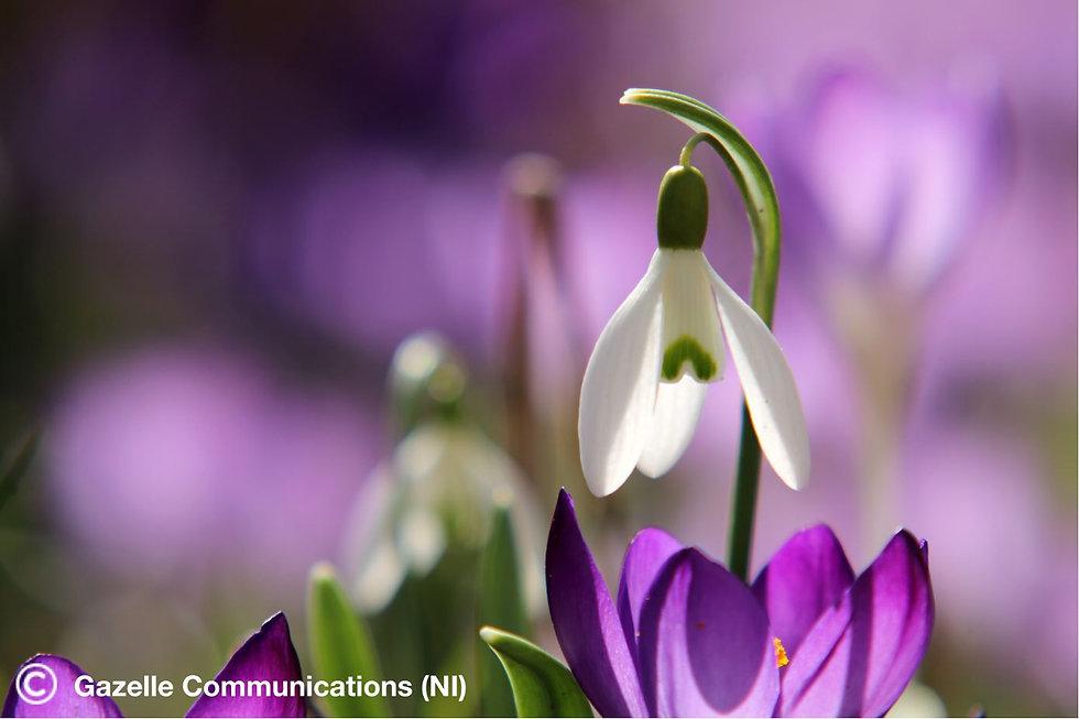 Spring Snowdrop_low-res.JPG