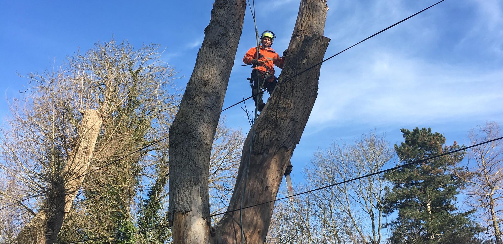 popular tree removed