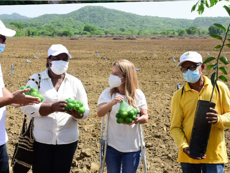 Con siembra de limón tahití Atlántico busca recuperar su productividad agroindustrial