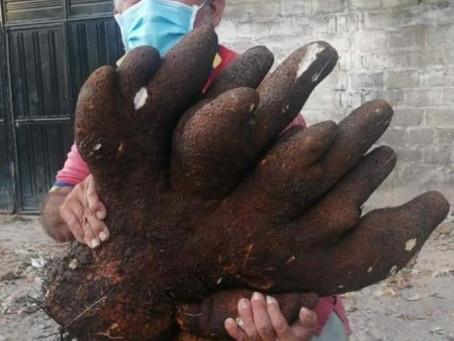 Desentierran ñame de 29 kilos en Polonuevo, Atlántico