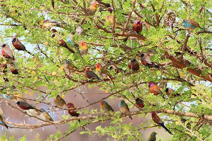 Afrikanische Prachtfinken