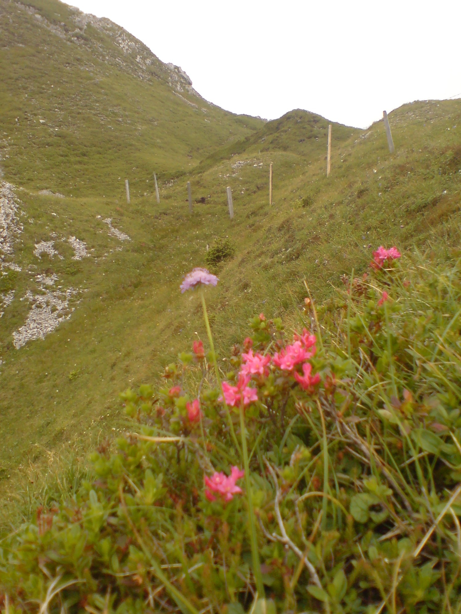 Alpwiese, Arvigrat