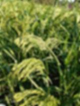 Silberhirse bereit zur Ernte
