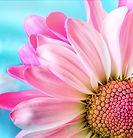 Floral Closeup Daisy 2.JPG