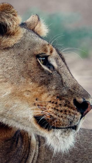 lioness%20profile.JPG