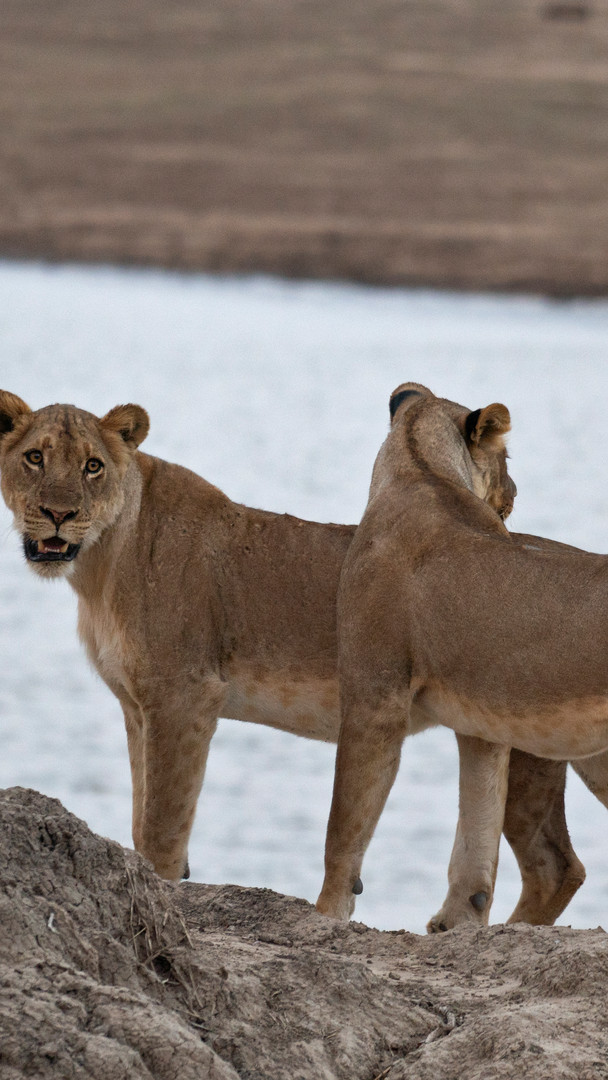 young lionesses.jpg