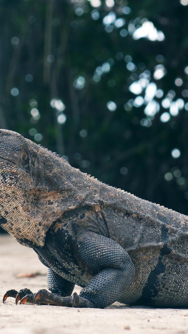 Meet Iguana, Belize