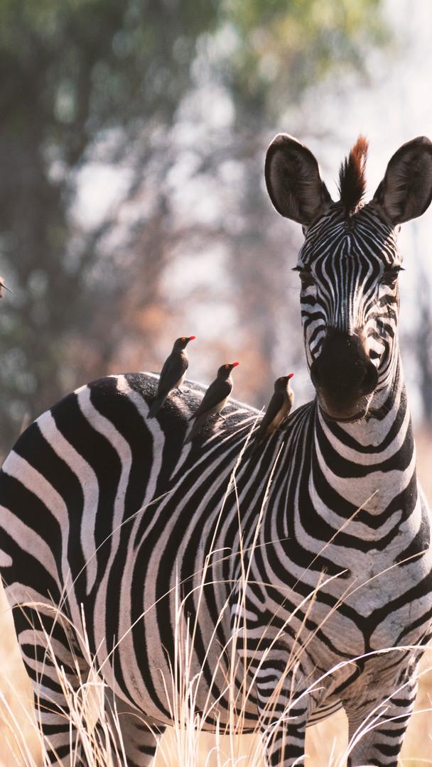 Zebra In Zambia, South Luangwa National Park