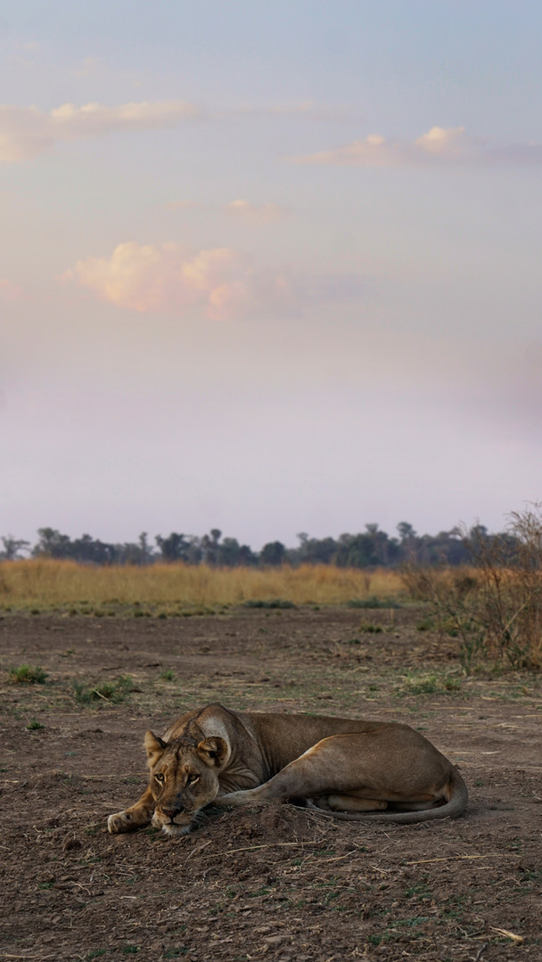 resting lioness.jpg