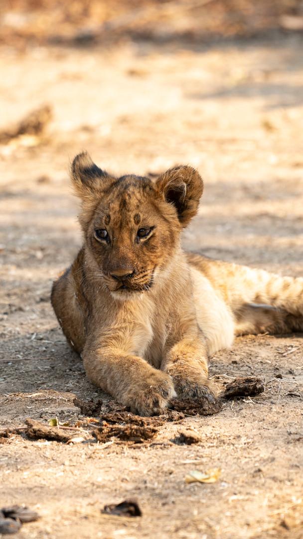 Little Lion, South Luangwa National Park