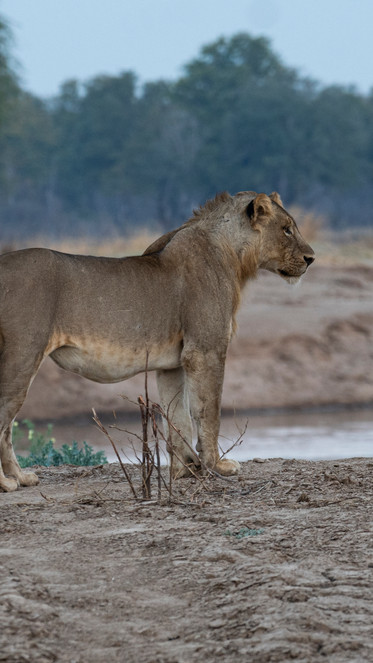 young male lion.jpg