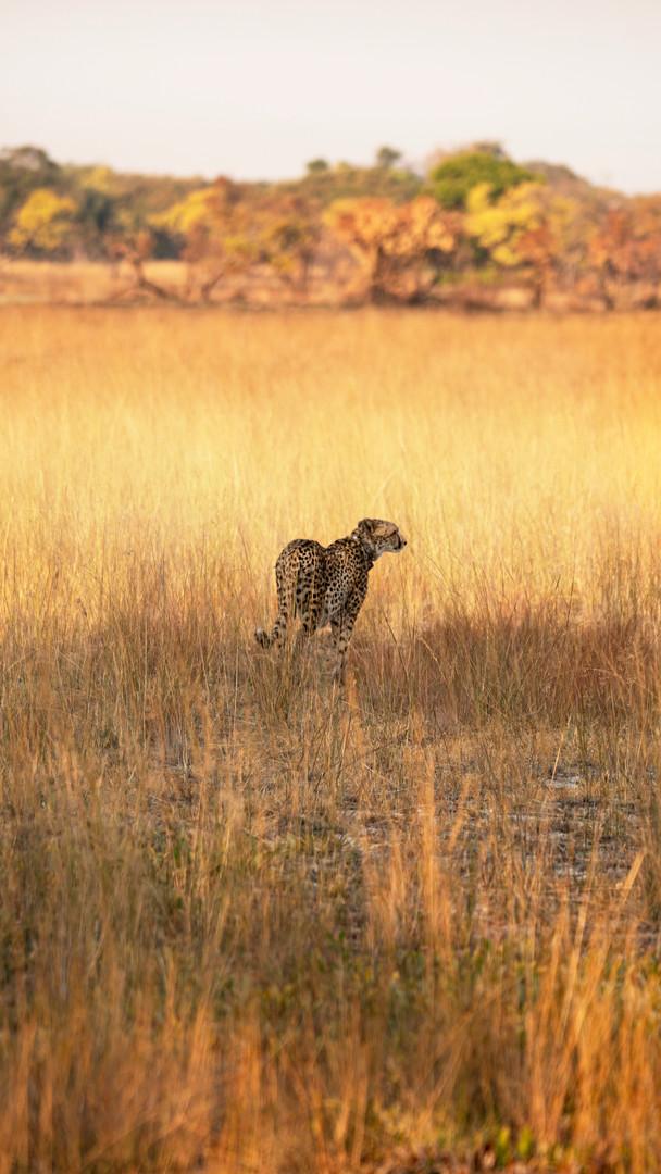 Cheetah Girls, Liuwa National Park, Zambia