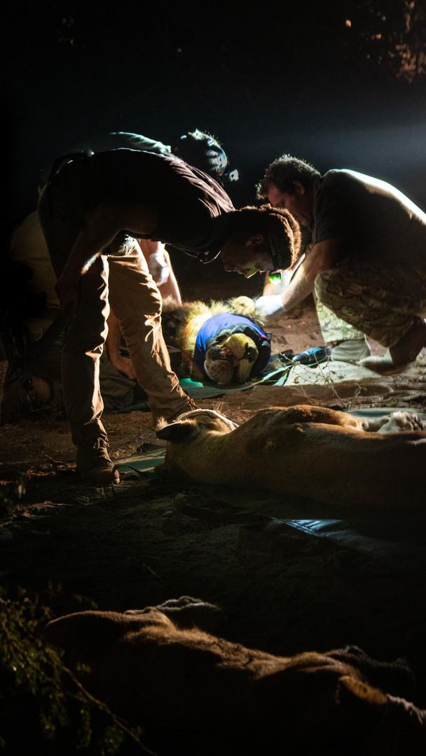 Lion Relocation, Mozambique