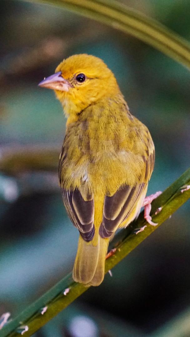 Golden Weaver, Watamu, Kenya