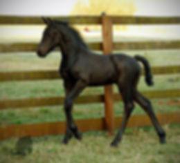 Olivia D van Wallbrook foal.jpg