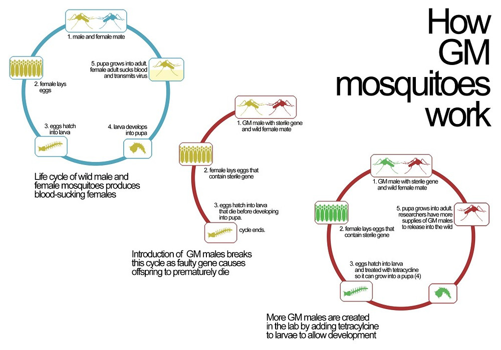 Life-Cycle of Genetically Modified Mosquitoes and How They Reduce the Mosquito Population