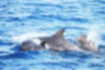 Pilot Whales.jpg