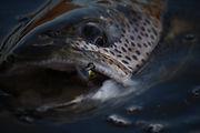 北海道東部、北部に広がる荒涼とした原野と湿原河川。この暗く淀んだ水域に日本最大の淡水魚が棲息している。 「幻の魚」と評された、あまりにも有名なイトウの釣りを紹介する。  イトウ釣りガイドは毎年6月~12月に開催。 こちらの申込はインターナショナルサイトのみの対応となります。