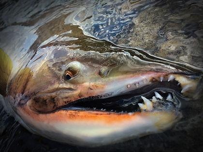 北海道の釣りガイドKAMUYは北海道で唯一のドリフトボート、カヤック専門フィッシングガイドサービスです。イトウ、アメマス、ワイルドレインボーなど北海道を代表するネイティブトラウトの釣りを強力にガイドします。