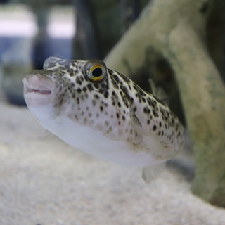 touch-tank-indian-river-lagoon-puffer-fish.JPG
