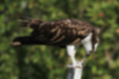 fantastic elc osprey 2-12-13 fl_0374.jpg