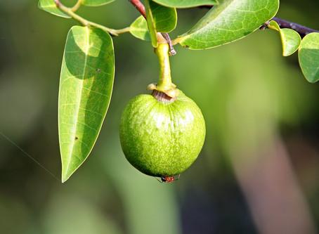 Florida Pond Apple Season