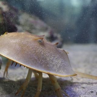 touch-tank-indian-river-lagoon-horseshoe-crab.JPG