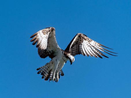 The Osprey