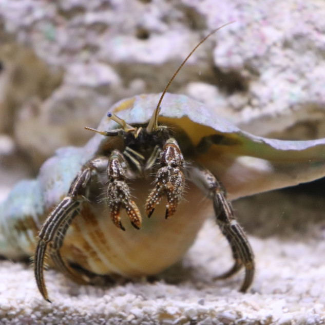 touch-tank-indian-river-lagoon-hermit-crab.JPG