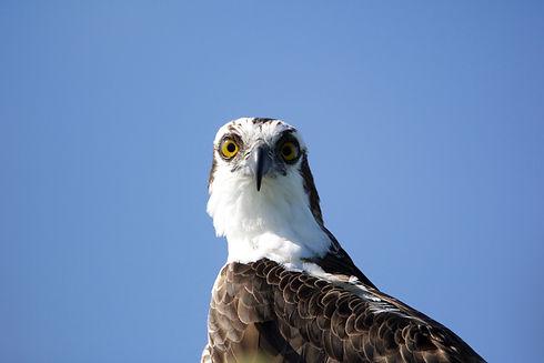 Osprey (1).jpeg