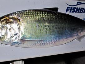 Big catfish and America's founding fish
