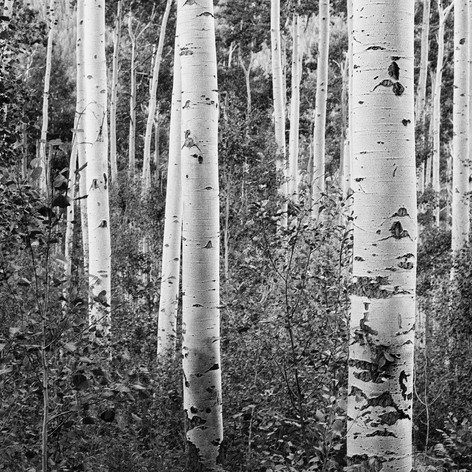 286866  14  Aspen Trees_Final.jpg