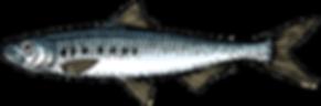 Sardine in blik Illustratie