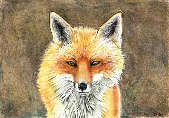 Red Fox. 9x12 Colored Pencil