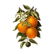 Oranges and Poppies Postcard.png