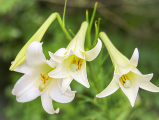 The Season of the Lily - Humility (Part I)