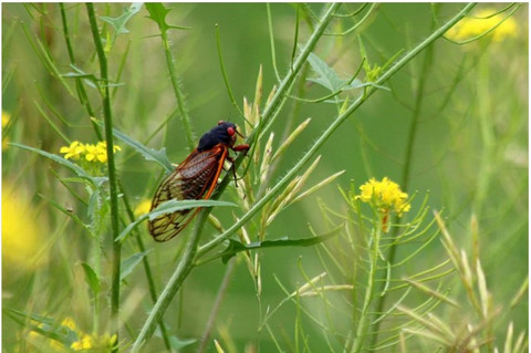The Cicadas are coming (Sick-ka das)