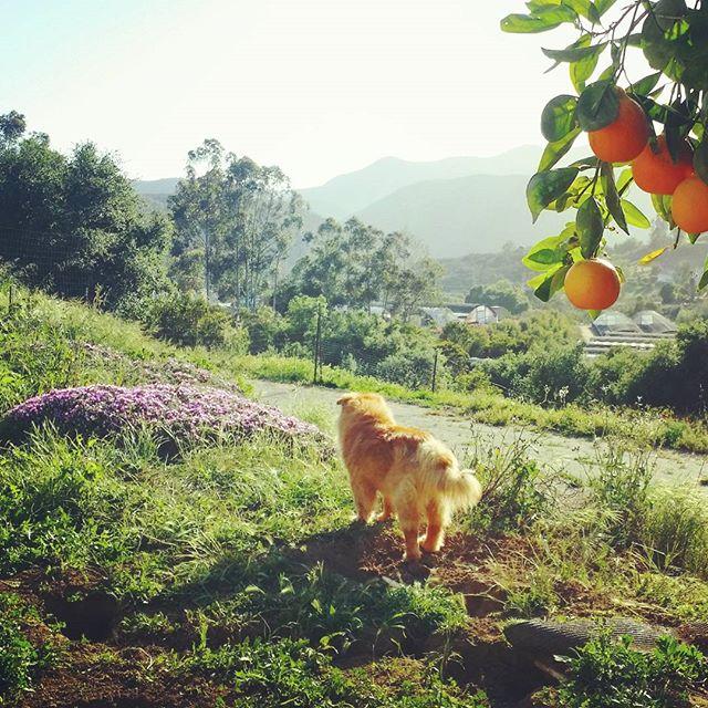 Picking oranges and enjoying the view