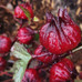Thai Roselle: Growing edible hibiscus.