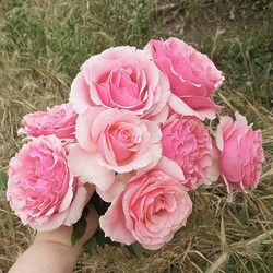 Bought 4 new rose bushes to plant and they are already covered with blooms.jpg Like to wake up to th