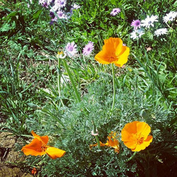 The poppies and other flowers are going crazy at our place