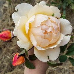 My David Austin Wollerton Old Hall finally bloomed. It's doing the best of all the bareroot roses I'
