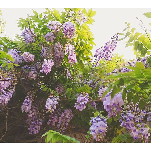 Can't get enough of the wisteria.jpg It's fleeting bloom is almost over