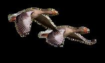 wild-goose-1643084_960_720_edited_edited