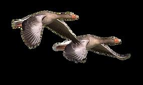 wild-goose-1643084_960_720.png