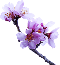 almond-tree-2063659_960_720_edited_edite