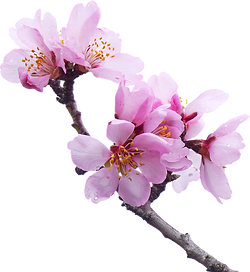 almond-tree-2063659_960_720_edited.png